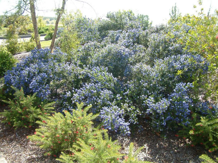 Plant photo of: Ceanothus 'Julia Phelps'