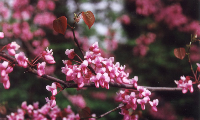 Plant photo of: Cercis occidentalis