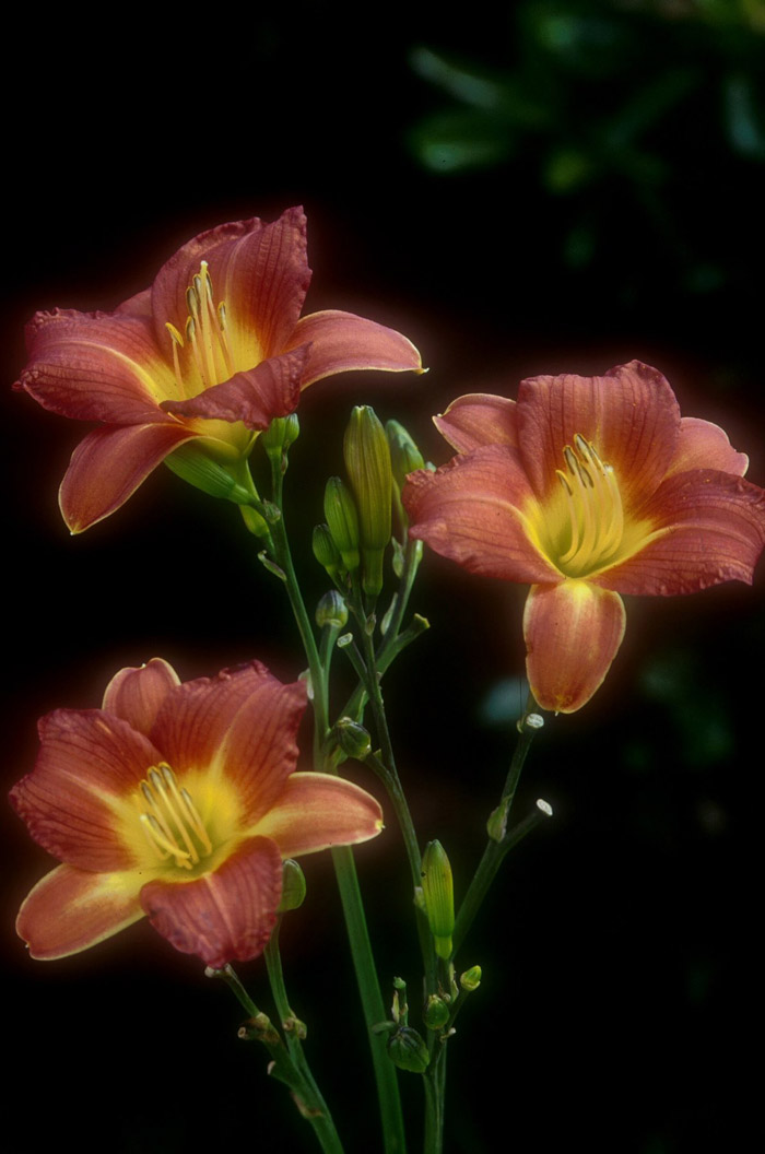 Plant photo of: Hemerocallis 'Terra Cotta Baby'