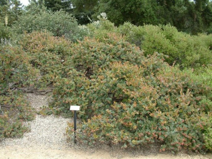 Plant photo of: Arctostaphylos 'John Dourley'