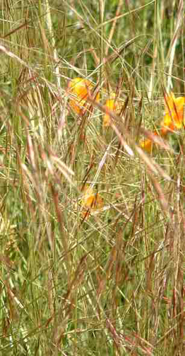 Plant photo of: Stipa pulchra