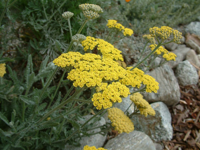 Plant photo of: Achillea 'Moonshine'