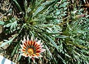 Sunburst Trailing Gazania