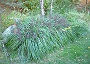 Black Flowering Fountain Grass