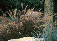 Eaton Canyon Dwarf Fountain Grass