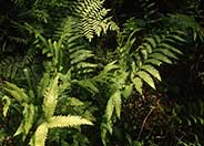 Netted Chain Fern