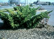 Juniperus chinensis 'Pfitzeriana'
