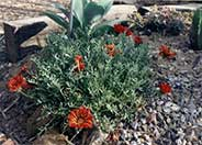 Clumping Gazania, Treasure Flower