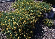 New Gold Trailing Lantana